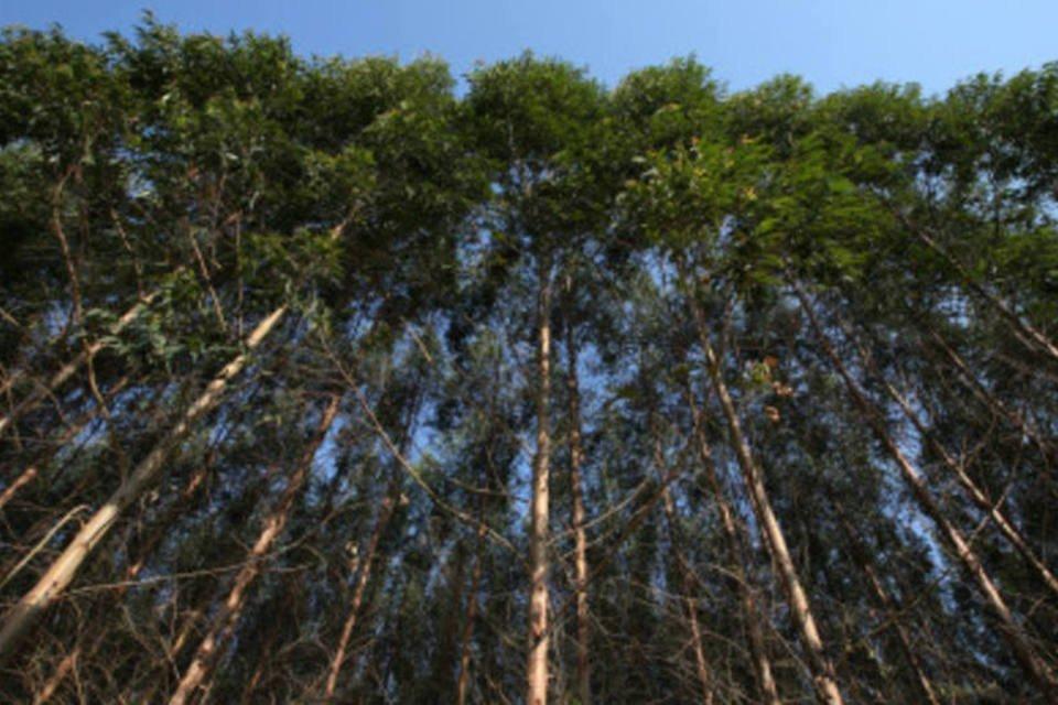 Plantação de eucalipto (Exame/LIA LUBAMBO)