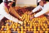 Funcionários manipulam laranjas em esteira em fábrica de suco.