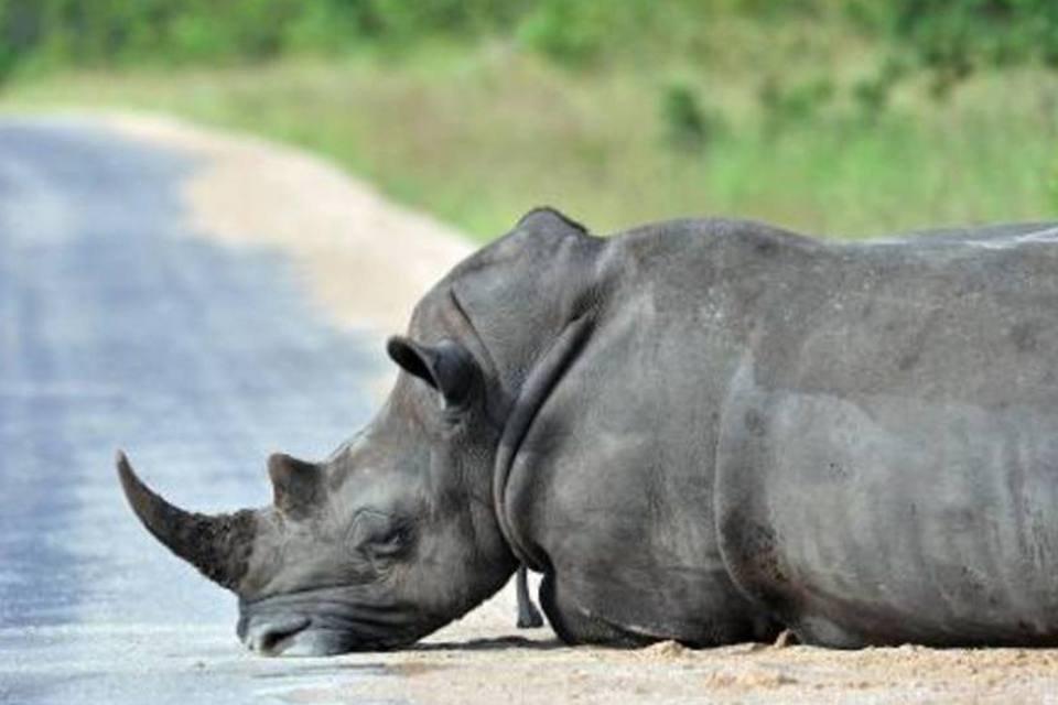 Rinoceronte descansa no Parque Kruger