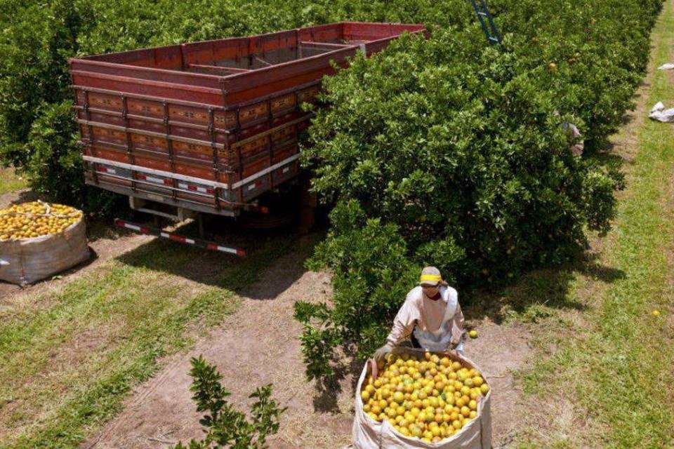 Trabalhadores colhem laranjas na Sucocítrico Cutrale