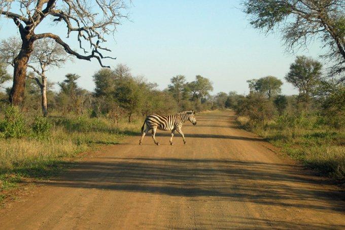 Zebra no Parque Kruger, na África do Sul