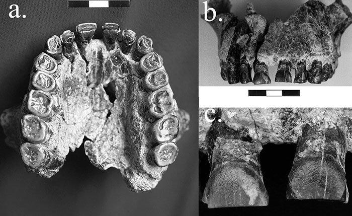 Fóssil de mandíbula de Homo Habilis