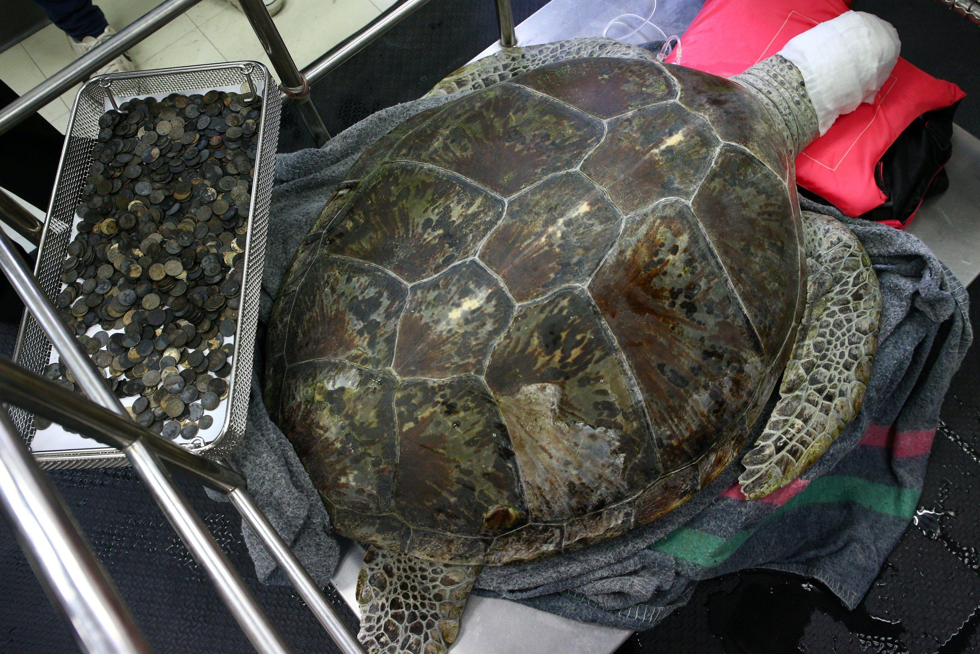 Veterinários retiram cinco quilos de moedas do estômago de uma tartaruga na Tailândia