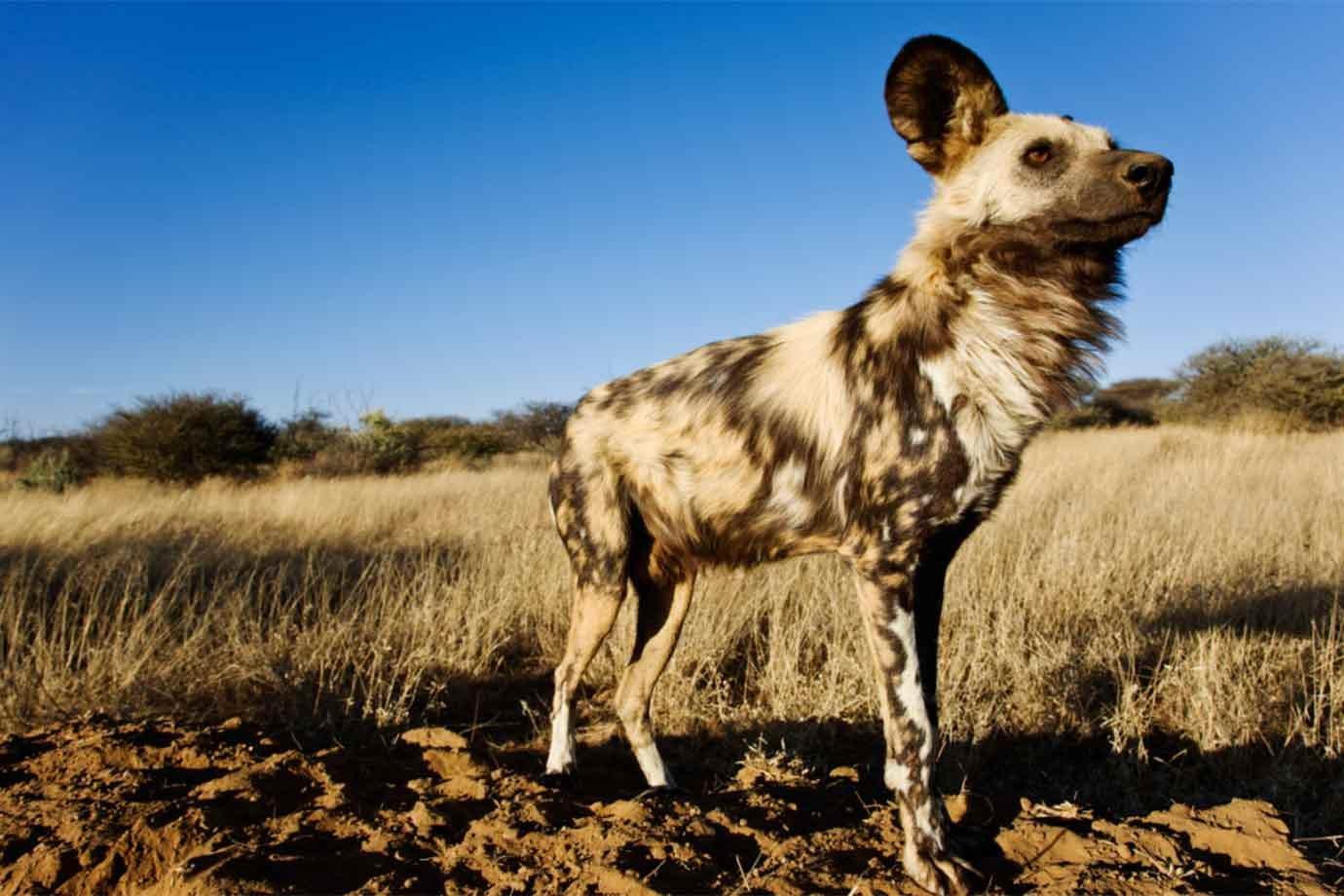 Cachorros-selvagens africanos.