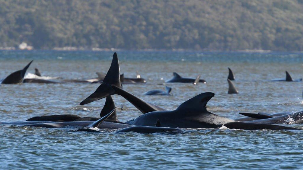 Voluntários tentam salvar centenas de baleias encalhadas na Austrália