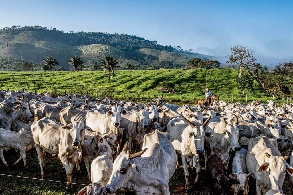 Fazenda; Xingu; Norte; Gado; Nelore; Peão; Pecuária