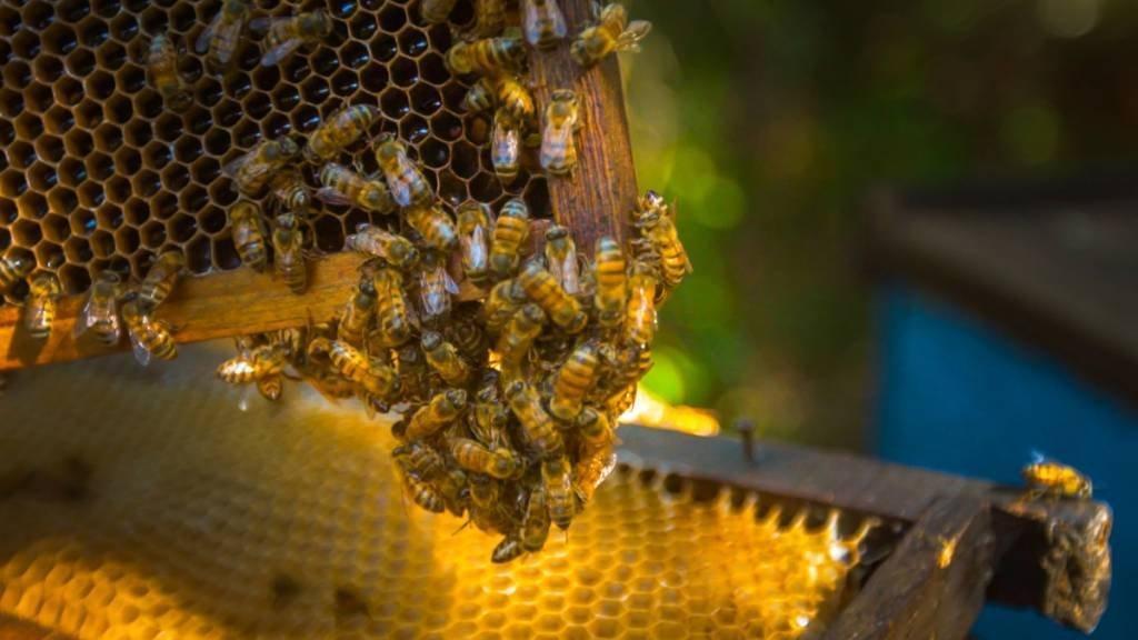 abelhas - canaviais - cofco