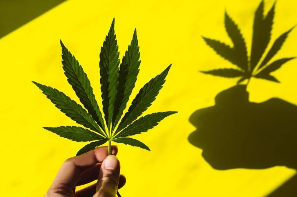 Folha de cânhamo; cannabis