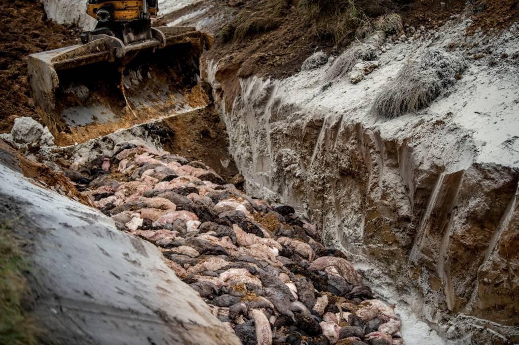 Animais mortos após surto de covid podem ter contaminado água na Dinamarca