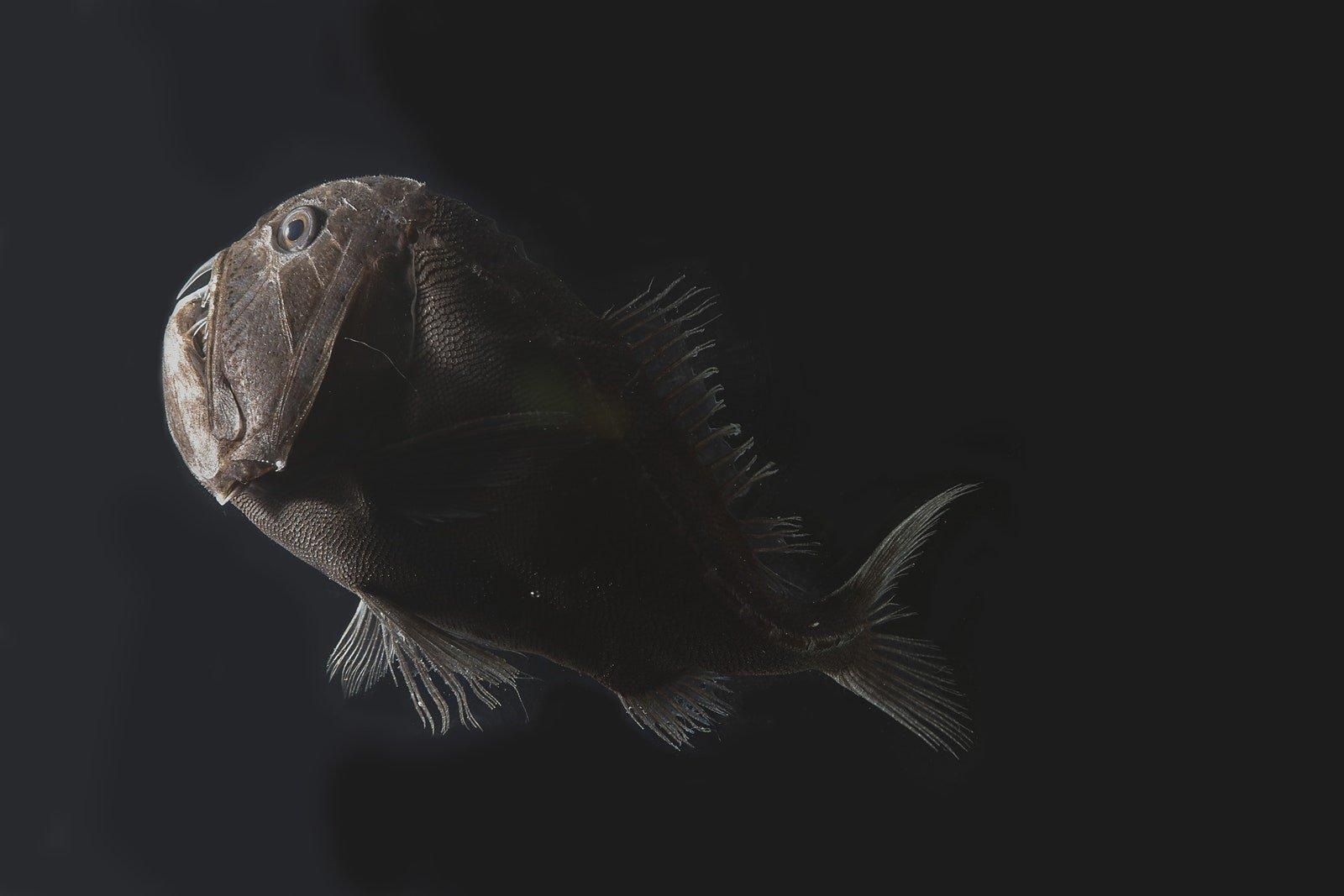 Peixe vanta