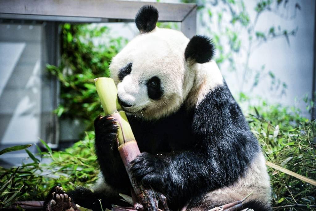 O panda Shin Shin no Zoológico de Ueno, em Tóquio, em 3 de junho de 2021
