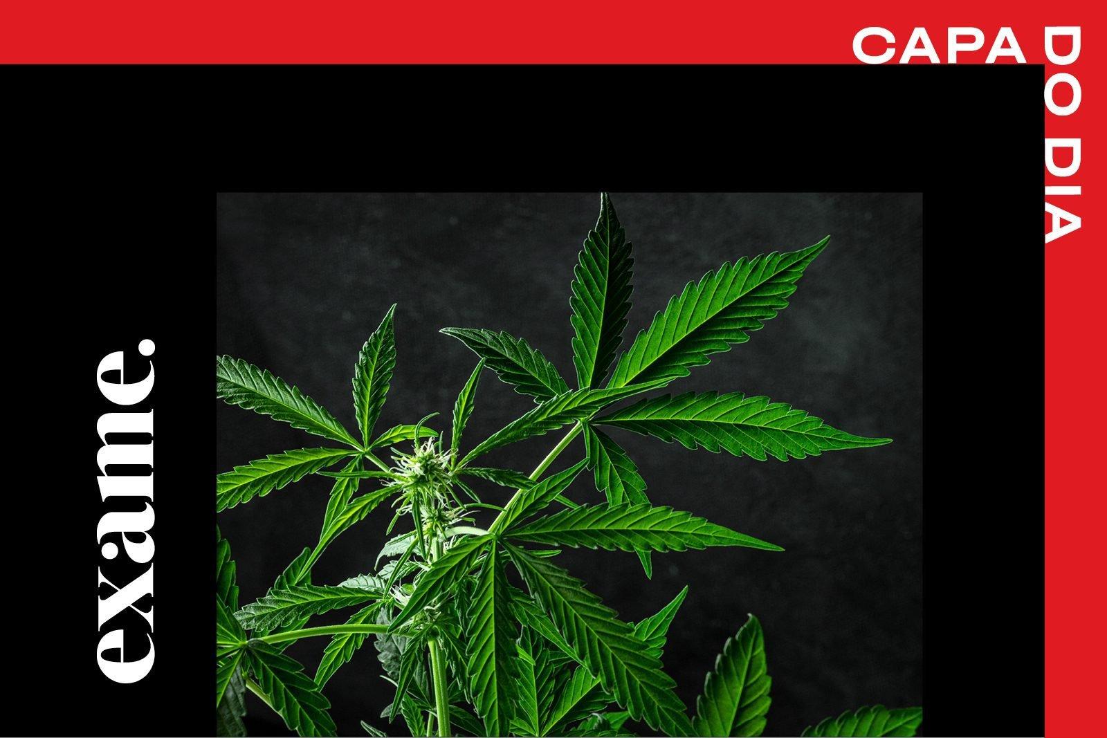 home_cannabis_startup_plantio_medicinal